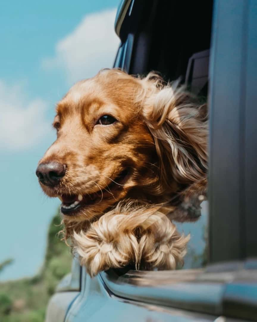 cocker spaniel looking out the window of a car