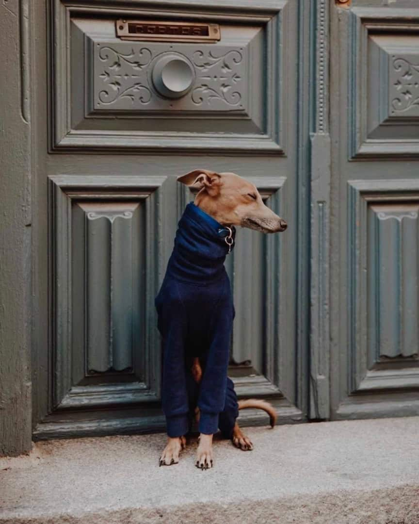 dog sitting by a door wearing a blue sweater and dark blue collar with eyes closed