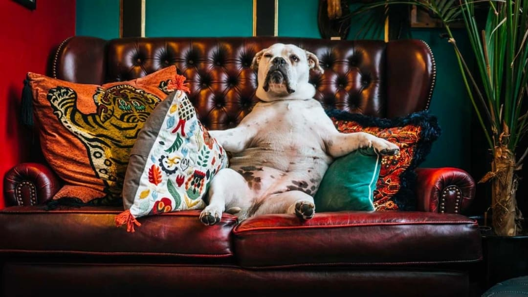 bulldog sitting belly up in a leather sofa
